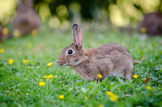 contoh hewan herbivora kelinci