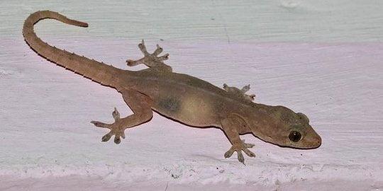 contoh hewan ovipar